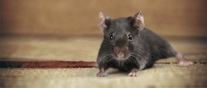 Rodent Control Glenmore Park